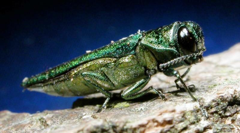 emerald ash border Westmount