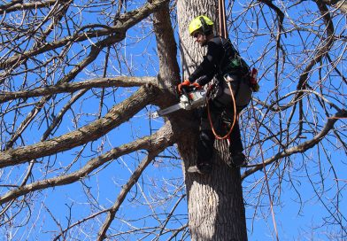Élagage d'arbres publics à Westmount