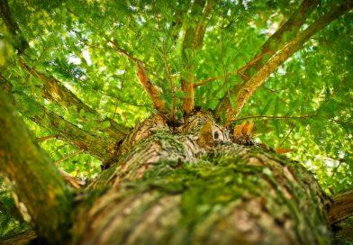 Plantation d'arbres sur Victoria et Sherbrooke à partir du 8 nov.